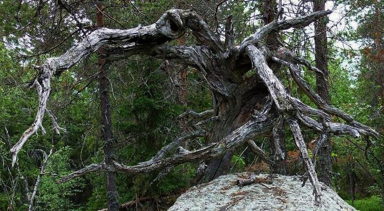деревья, Воттоваара