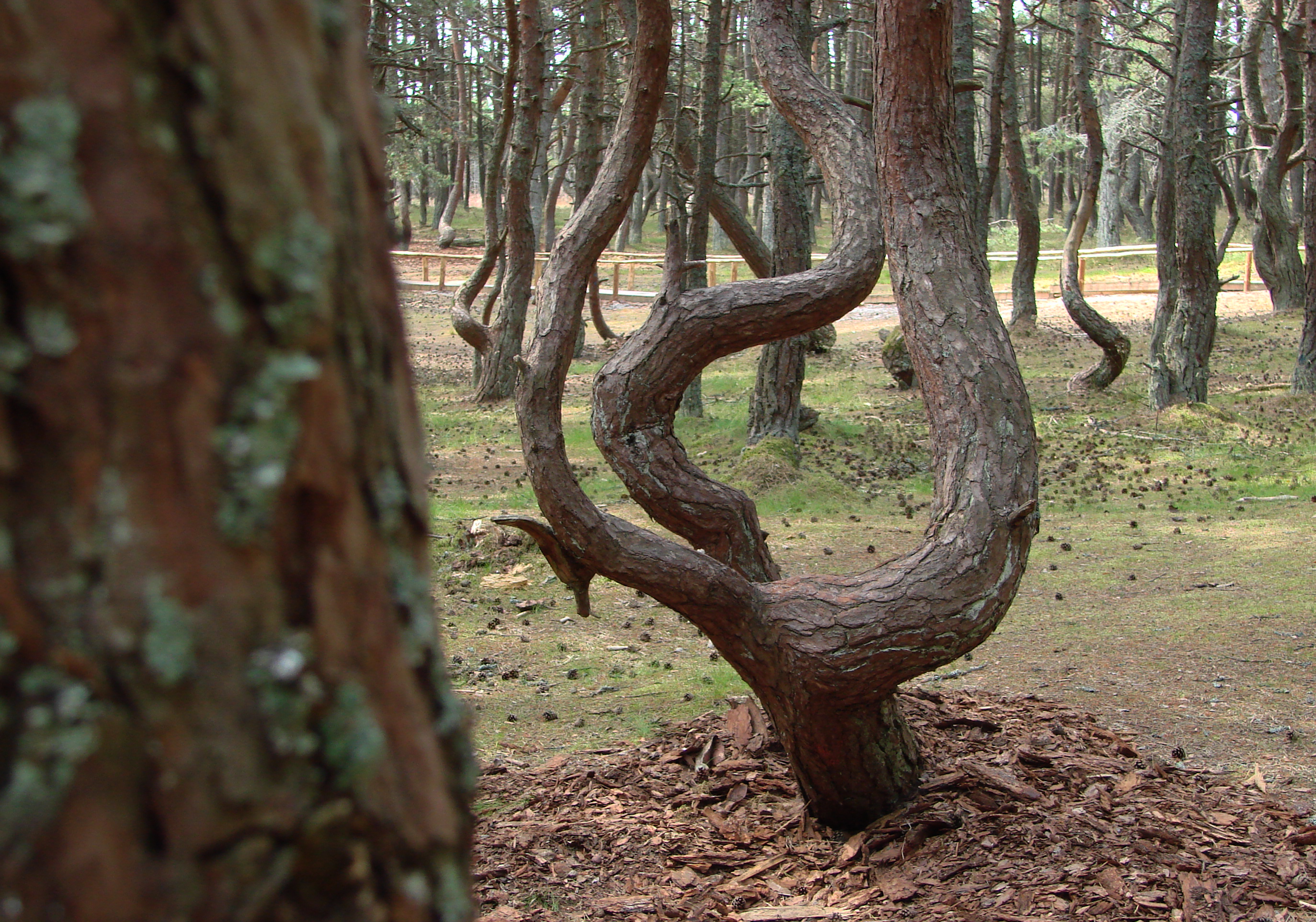 ЕСТЬ-Танцующий лес- 2009 013
