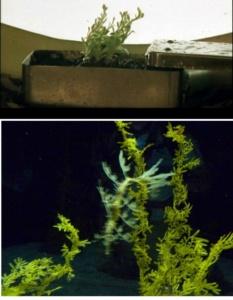 """Металлический ящик с черноземом, проросшим какой-то зеленью. На фото внизу - """"морской конек-тряпичник"""", от зелени не отличающийся, ибо мимикрия его доведена до совершенства."""