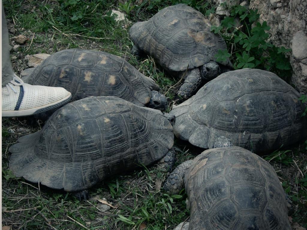 Сначала они услышали шум. Оказалось, то кричали черепахи.