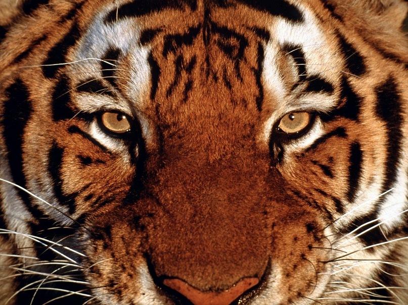 Портрет африканского тигра, смотрящего прямо в глаза. В ответ на наш взгляд? По собственному умыслу злому?