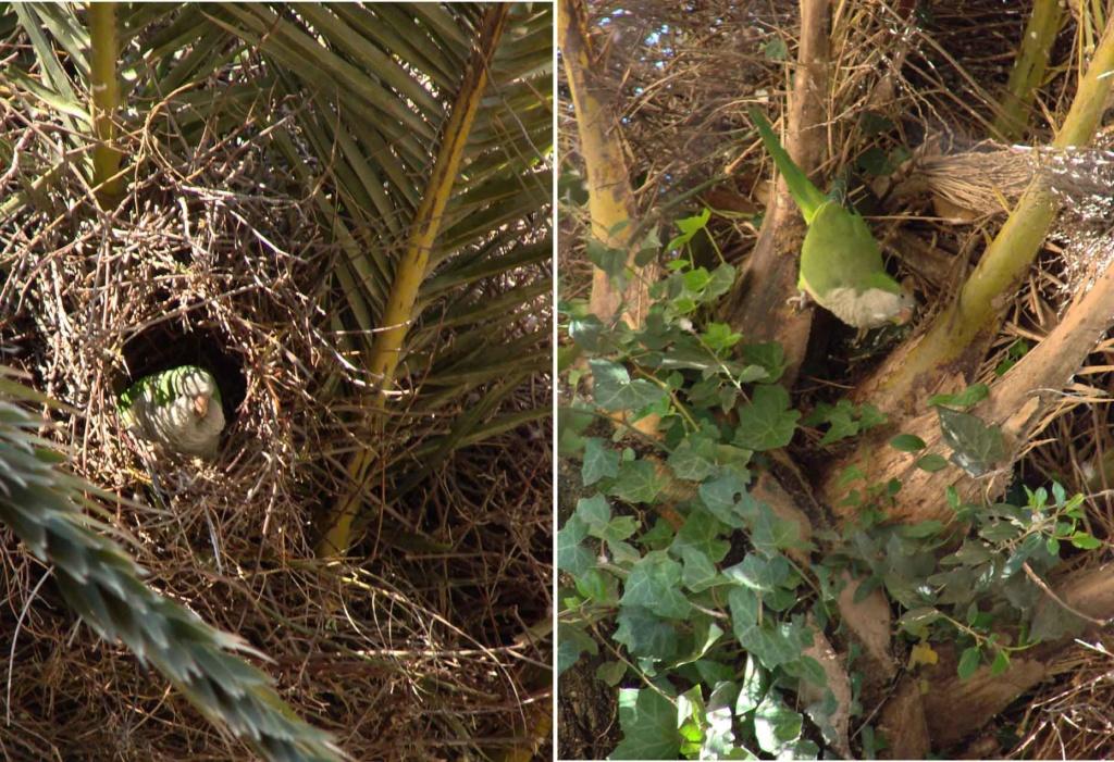 Прообразы ландшафтной архитектуры... Зеленые попугаи в Парке Гуэля, живущие на пальмах и платанах... Барселона является европейским городом с самым большим числом этих птиц (около 2500 экземпляров) на настоящий момент.