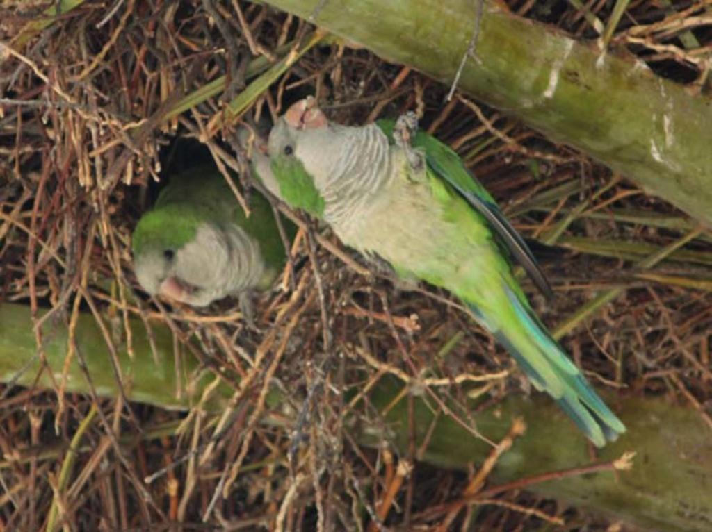 Реальный прообраз для виадуков Гауди - птичьи гнезда, построенные зелеными попугаями, которых очень много в Парке, а в марте месяце у них много забот....