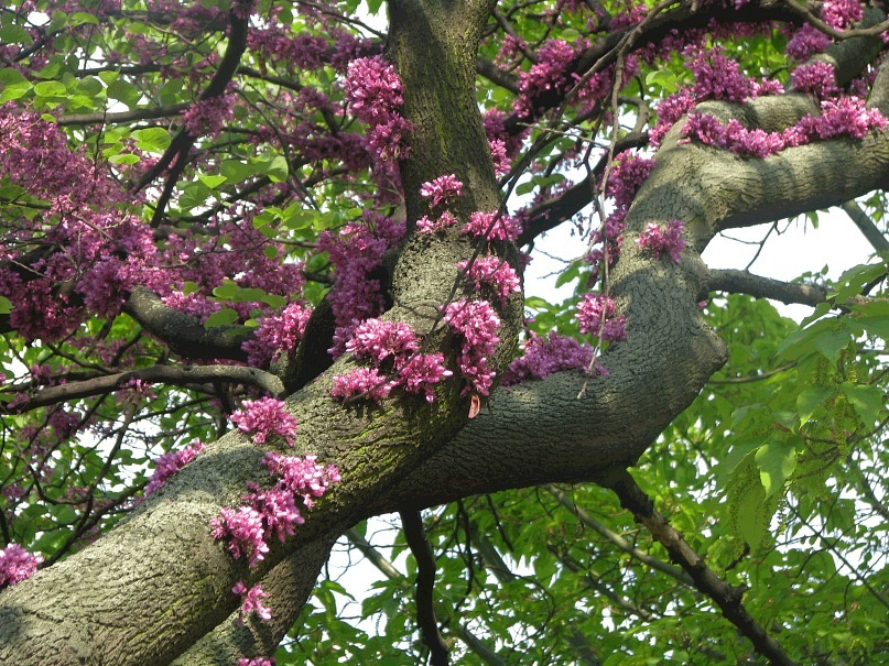 Гогеновские гирлянды по деревьям поползли. Как они зовутся, подскажите, кто знает...