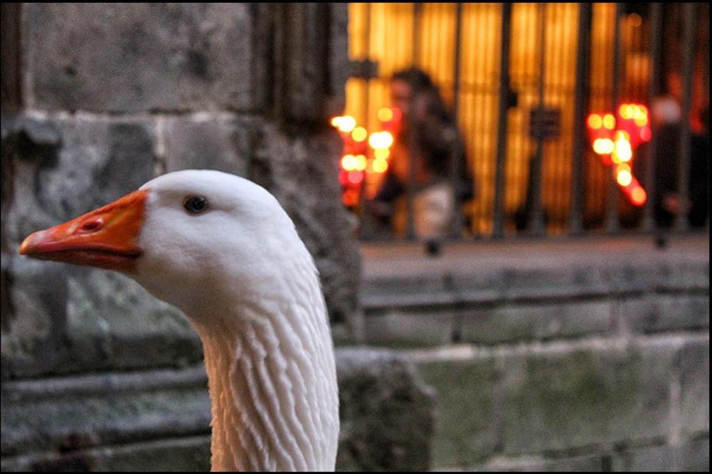 Клуатр в Кафедральном соборе Барселоны, в котором живут 13 белых гусей, символизирующих чистоту тринадцатилетней Святой Евлалии — покровительницы Барселоны.