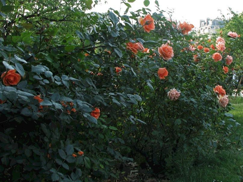 Огромные розы во весь рост поднялись...