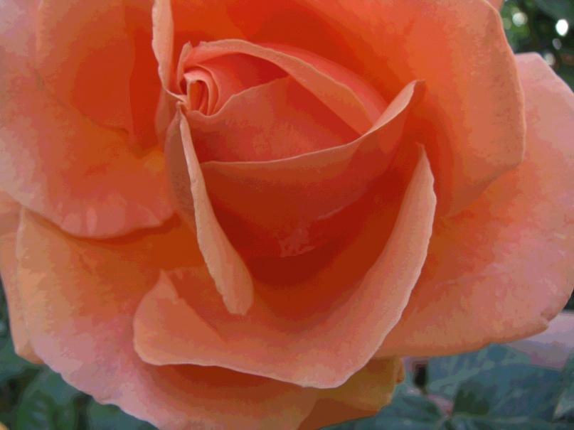 Розы любовную томность источали. Почему Петербург - не Париж? Почему петербуржцы - не парижане?