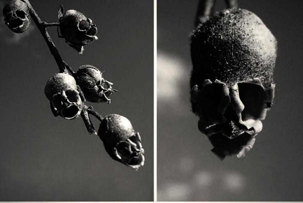 Семянка Львиного зева. Здесь уже не до шуток: природы ведет разговор всерьез о бренности бытия.