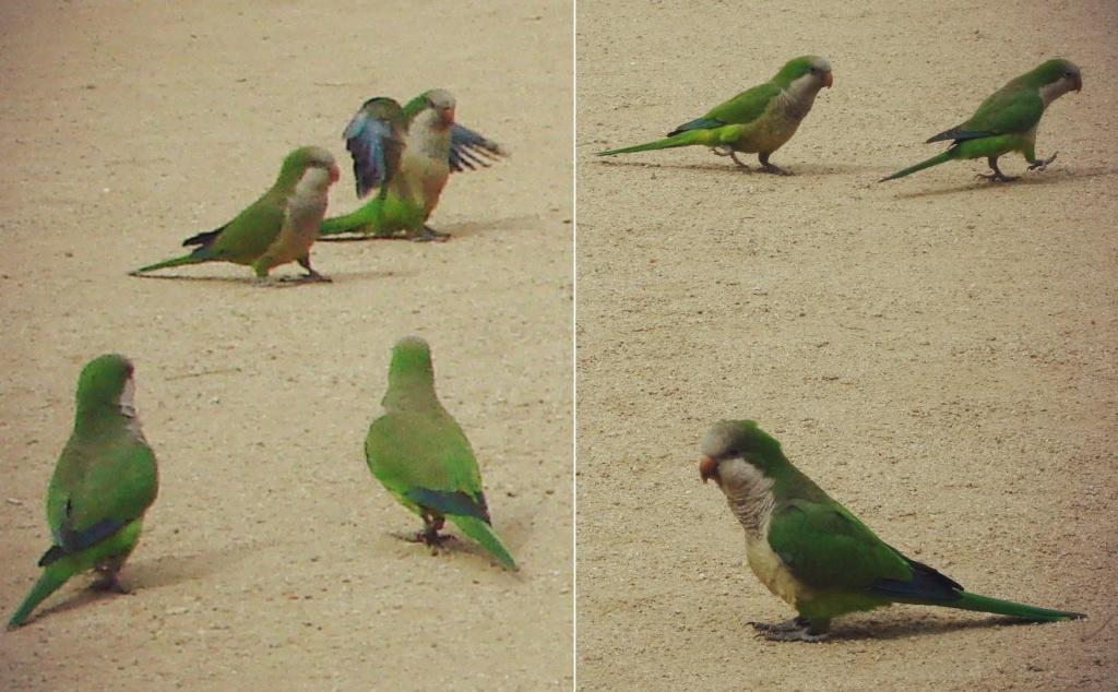 Барселонские попугаи, завезенные из Южной Америки. Местные жители за крикливость называют их квакерами. Правильное название - калита.