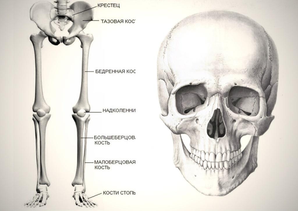 """Строение человеческого скелета: опорные кости и череп (извините за """"съеденные"""" окончания понятий)."""