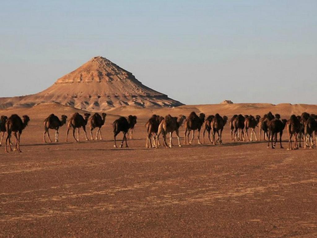 Средний Египет. Ливийская пустыня, где мерный ход шагов верблюдов отмеривает время жизни, отпущенное людям и Земле...