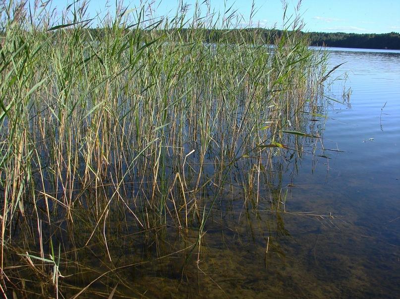 Озеро Масельки прекрасное... Несмотря на похолодание, Даниил два раза заплыл в озеро с мостков прибрежных...