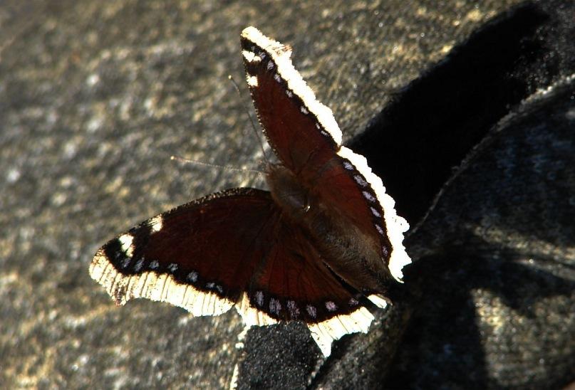 Эти бабочки - местные: очень крупные и спокойные. Они всегда нас на стоянке встречали, с нами играли, но фотографироваться не хотели - улетали...
