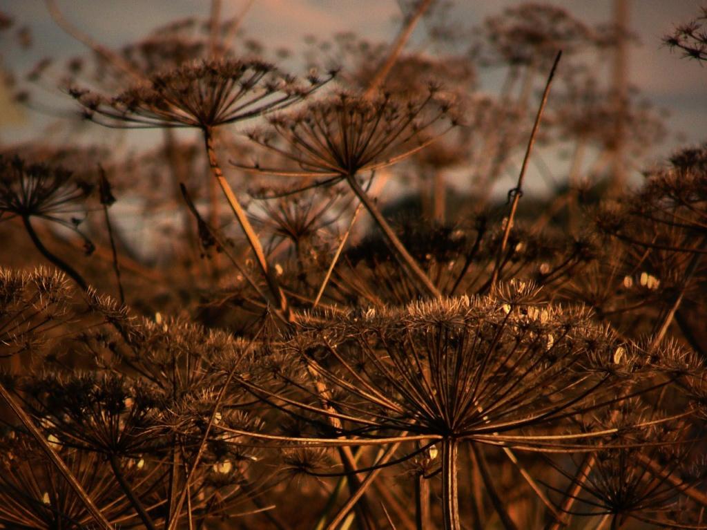 Торжествует на поле борщевик - опасный для людей и животных сорняк, что распространяется по брошенной земле, как эпидемия...