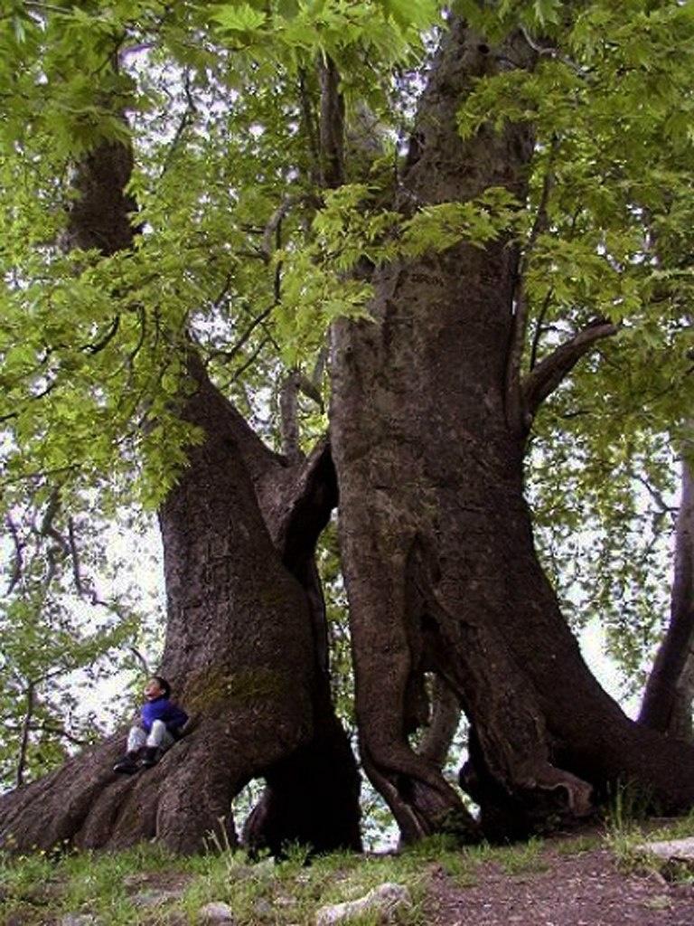 Дерево Герники